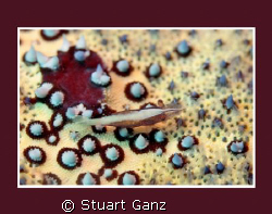 Pin cushion shrimp by Stuart Ganz 